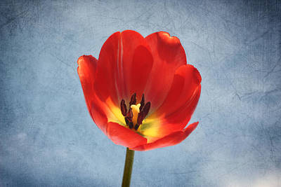 Photograph - Red Tulip Glow by Kim Hojnacki