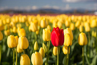 Photograph - Red Tulip In A Yellow Field by Pierre Leclerc Photography