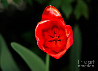 Red Tulip  Art Print by Jay Nodianos