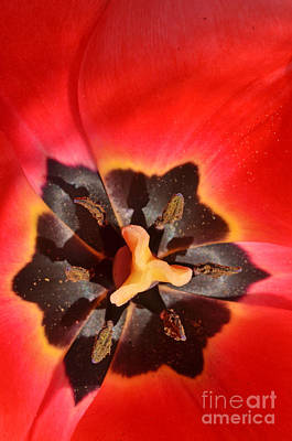 Photograph - Red Tulip by Laura Mountainspring