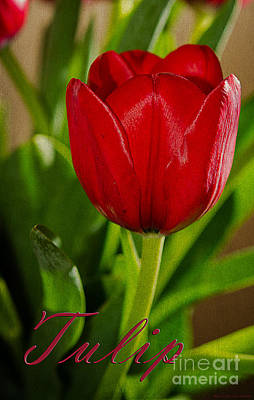 Lale Photograph - Red Tulip by MaryJane Armstrong