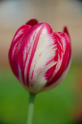 Photograph - Red Tulip by Michael Goyberg