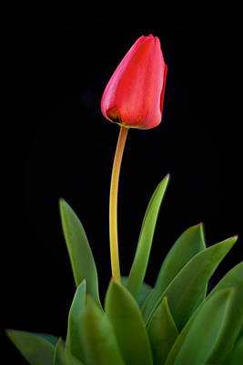 Photograph - Red Tulip On Black by Mary Lee Dereske