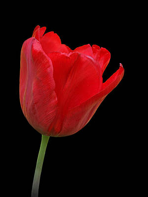 Red Tulip Open Art Print by Gill Billington