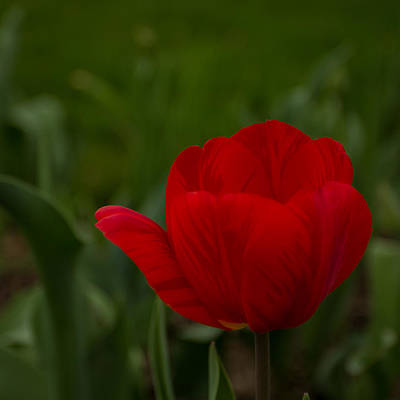 Photograph - Red Tulip by Ron Pate