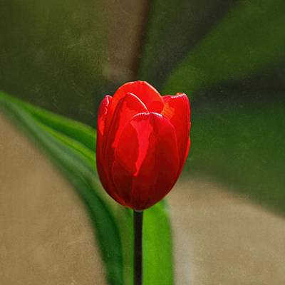 Red Tulip Spring Flower Art Print by Tracie Kaska