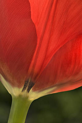 Photograph - Red Tulip  by Susan Candelario