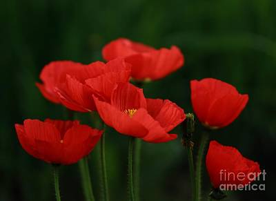 Photograph - Red Tulip by Sylvia  Niklasson