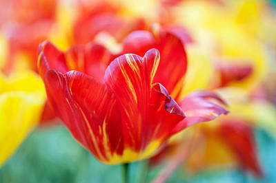 Crazing Photograph - Red Tulip. The Tulips Of Holland by Jenny Rainbow