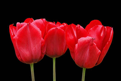 Photograph - Red Tulip Triple On Black by Gill Billington