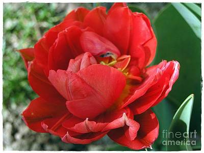 Art Print featuring the photograph Red Tulip by Vesna Martinjak