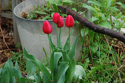 Photograph - Red Tulips by Aimee L Maher Photography and Art Visit ALMGallerydotcom
