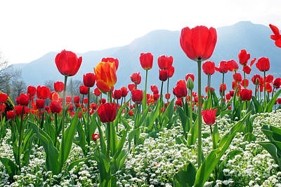 Red Tulips Print by Boon Mee