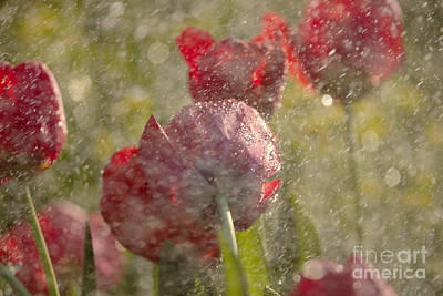 Granger - Red Tulips In The Rain by Odon Czintos