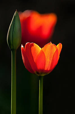 Buy Tulips Photograph - Red Tulips by Izzy Standbridge