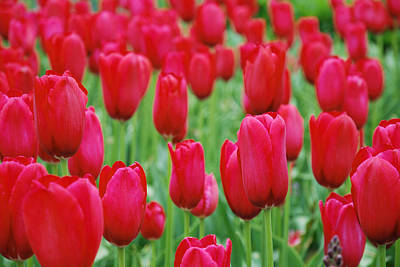 Blooms Photograph - Red Tulips by Jennifer Ancker
