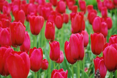 Photograph - Red Tulips by Jennifer Ancker