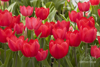 Photograph - Red Tulips by Jill Lang