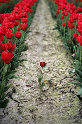 Red Tulips Art Print by Jim Corwin
