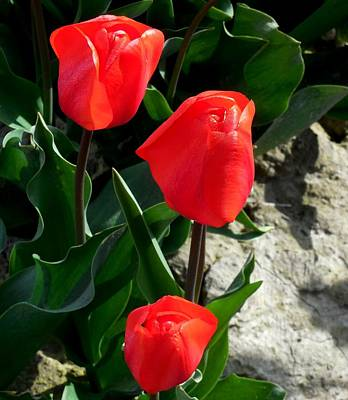 Red Tulips Art Print by Karen Molenaar Terrell
