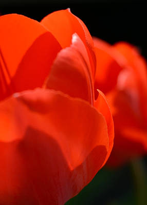 Photograph - Red Tulips Macro by Rebecca Sherman