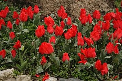 Photograph - Red Tulips by Maeve O Connell