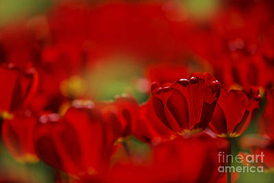 Beds Photograph - Red Tulips by Nailia Schwarz