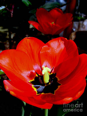 Photograph - Red Tulips by Nina Ficur Feenan