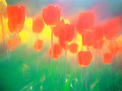 Altered Photograph - Red Tulips by Panoramic Images