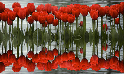 Photograph - Red Tulips Reflection by Sonya Lang