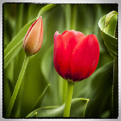 Advertising Archives - Red Tulips  by Richard Nowitz