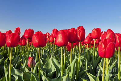 Tulip Photograph - Red Tulips by Sara Winter