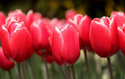 Photograph - Red Tulips Skaget Valley by Jennie Marie Schell