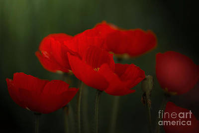 Photograph - Red Tulips by Sylvia  Niklasson