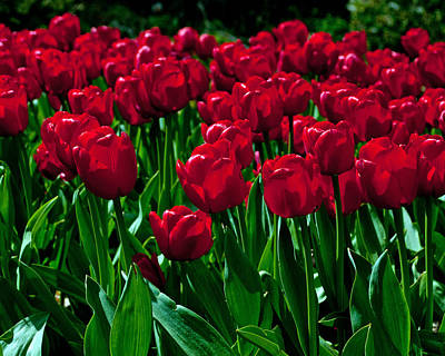 Photograph - Red Tulips by Tikvah's Hope
