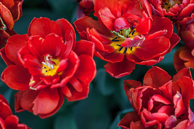 Red Tulips. The Tulips Of Holland Art Print by Jenny Rainbow