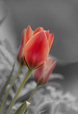 Lale Photograph - Red Tulips by Veli Bariskan