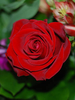Photograph - Red Velvet Rose by Connie Fox