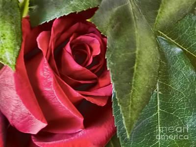 Photograph - Red Velvety Classic  by Alexandra Jordankova