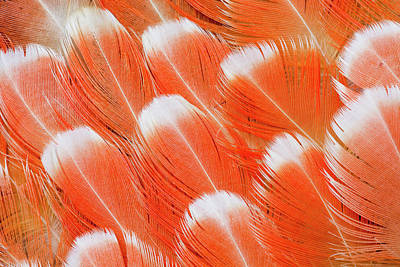 Red Vent Cockatoo Rump Feathers Art Print