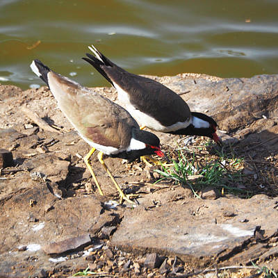 Photograph - Red-wattled Lapwing by C H Apperson