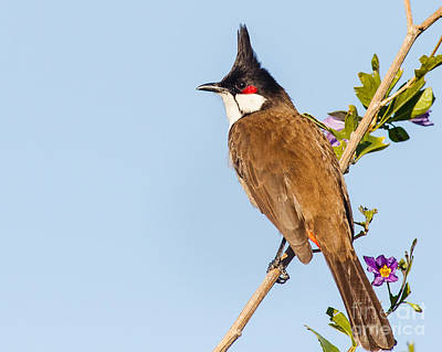 Red Whiskered Bulbul Photograph - Red-whiskered Bulbul by Carl Jackson