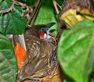 Red Whiskered Bulbul Photograph - Red-whiskered Bulbul On Nest by K Jayaram