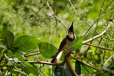 Red Whiskered Bulbul Photograph - Red-whiskered Bulbul by Saurav Pandey