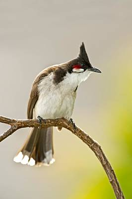 Red Whiskered Bulbul Photograph - Red-whiskered Bulbul by Science Photo Library