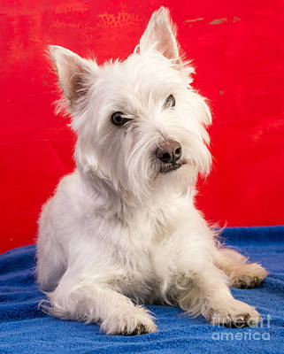 Adorable Photograph - Red White And Blue Westie by Edward Fielding