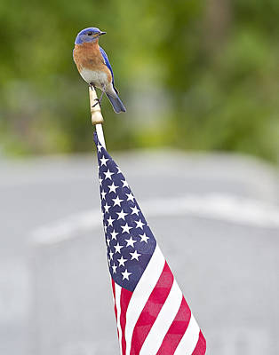Photograph - Red White And Bluebird by John Vose