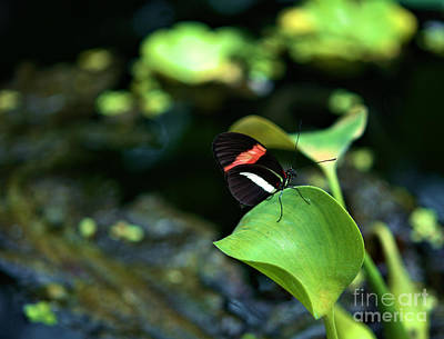 Photograph - Red White Black Butterfly by Matthew Naiden