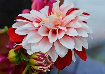 Red White Chrysentimum Flower Print by Johnson Moya