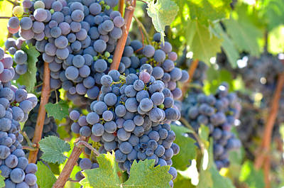 Vino Photograph - Red Wine Grapes by Brandon Bourdages